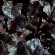 Beet leaf Blood Red